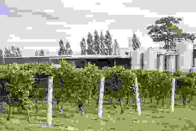 Chardonnay Vines and Fermenting Tanks in a Winery